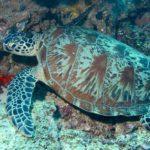 Глобальное потепление грозит вымиранием целому роду морских черепах