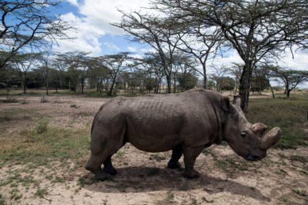 Ученые-биологи планируют клонировать вымирающие виды носорогов