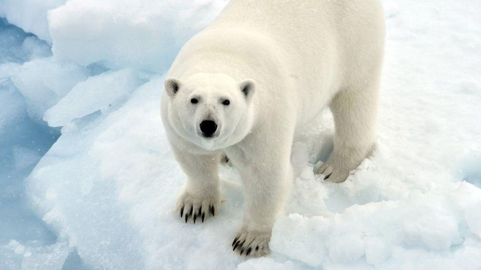 Стали известны причины, почему произошло нашествие белых медведей на архипелаге Новая Земля