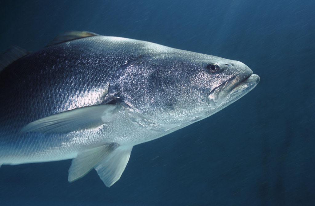 War for the endangered fish in California Gulf