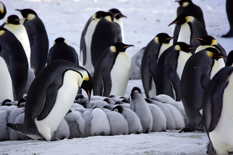 The largest colony of emperor penguins in Antarctica has collapsed